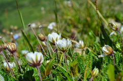 White alpine flowers close-up. In a grass Royalty Free Stock Images