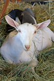 White Alpine goat resting in hay Stock Images