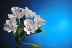 White alstroemeria Stock Images