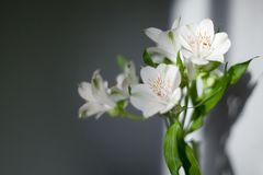 White alstroemeria flowers with green leaves on gray background with sun light and shadow close up royalty free stock image