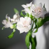 White alstroemeria flowers with green leaves on gray background with sun light and shadow close up stock image