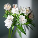 White alstroemeria flowers with green leaves on gray background with sun light and shadow close up stock images