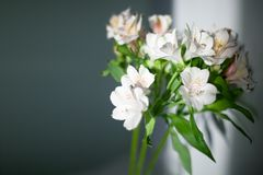 White alstroemeria flowers with green leaves on gray background with sun light and shadow close up royalty free stock photo