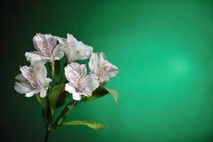 White alstroemeria Stock Photo