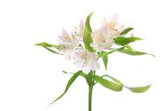 White alstroemeria Royalty Free Stock Photography