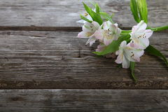 White alstroemeria Stock Image
