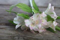White alstroemeria Royalty Free Stock Photos