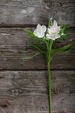 White alstroemeria Royalty Free Stock Image