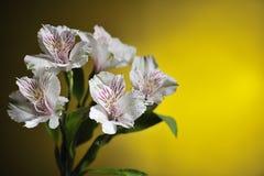 White alstroemeria Stock Photos