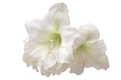 White amaryllis. Isolated on white background royalty free stock image