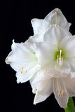 White amaryllis. Flower on black background stock photos