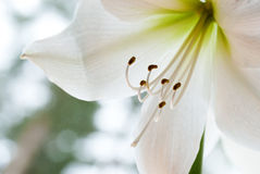 White amaryllis Stock Images