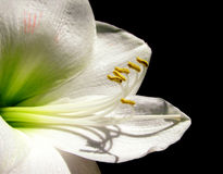 White Amaryllis Royalty Free Stock Photo