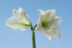 White amaryllis. Stock Images