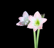 White amaryllis (Amaryllis belladonna L.) Royalty Free Stock Images