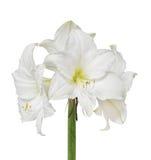 White amaryllis flower Royalty Free Stock Photo
