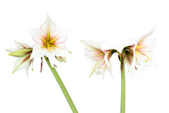 White Amaryllis flower Stock Photo