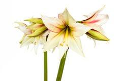 White Amaryllis flower Stock Images