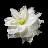 White Amaryllis flower on black Royalty Free Stock Photos
