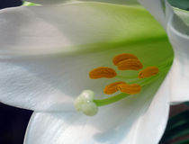 White amaryllis flower Stock Images
