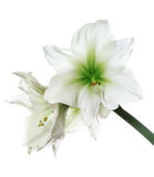 White amaryllis isolated Royalty Free Stock Images