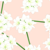 White Amaryllis on Light Pink Orange Background. Vector Illustration Royalty Free Stock Photo