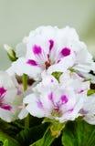 White amaryllises Stock Image
