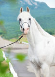 White amazing arabian stallion at mountain background Royalty Free Stock Photography
