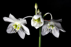 White Amazon lily flower. On the black background (Eucharis grandiflora stock photos