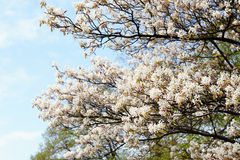 White amelanchier bush in springtime Stock Photo