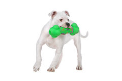 White American Bulldog Puppy, Green Toy Royalty Free Stock Photos
