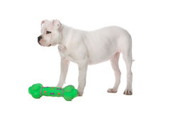 White american bulldog puppy and a green toy Royalty Free Stock Photography