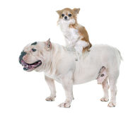 White american bully and chihuahua Stock Images