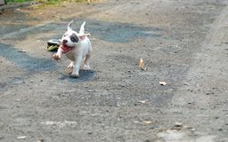 White American bully puppy is jogging and drag small wheel by rope for exercise on the road with. White American bully puppy is jogging and drag small wheel by royalty free stock photos