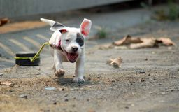 White American bully puppy is jogging and drag small wheel by rope for exercise on the road. White American bully puppy is jogging and drag small wheel by rope stock image