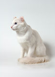 White american curl cat. White cat with blue eyes of breed of american curl stock photography