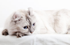 White American Curl cat. Close-up photo Stock Images