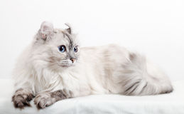 White American Curl cat Royalty Free Stock Images