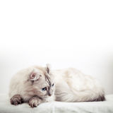 White American Curl cat with pointed color fur Stock Images