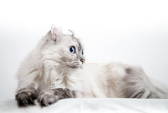 White American Curl cat with pointed color fur Royalty Free Stock Image