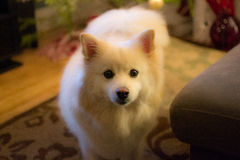 White American Eskimo dog. Fluffy white cream dog in living room Royalty Free Stock Photography