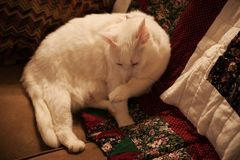 White American Long Hair Cat. Cleaning her paw while resting on a couch stock photography