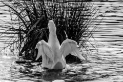 Black and white monochrome image of a pekin duck also known as Aylesbury or Long Island ducks flapping and spreading wings. White American Pekin duck also known stock image