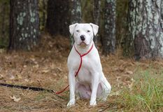 White American Pitbull Terrier dog with blue eye sitting. White female American Pitbull Terrier with blue eye, red leash. Outdoor adoption photograph for Walton royalty free stock photos