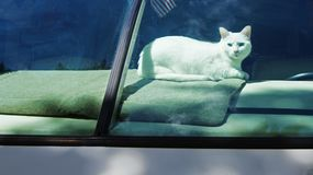 White American Shorthair Cat in Motor Home Window. White American Shorthair Cat in Motor Home front Window. This is a pure white cat with blue eyes and is deaf stock photo