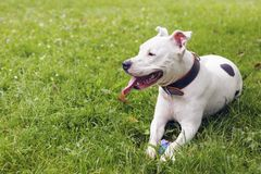 White american staffordshire terrier, lying in the grass. stock photos