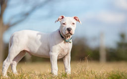 White American Staffordshire terrier puppy. Standing on grass royalty free stock photos