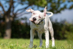 White American Staffordshire Terrier young dog shaking Royalty Free Stock Photos