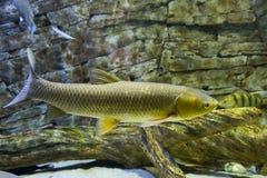 The white Amur fish in the big aquarium Stock Photography