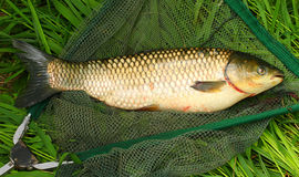 The White Amur - Grass Carp. Royalty Free Stock Photos